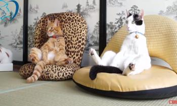 Silly Cats think they are Human!